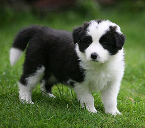 File:Border-Collie-Puppies-Dogs-Sale.jpg
