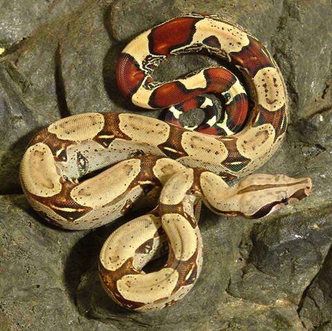 File:Red Tail Boa.jpg