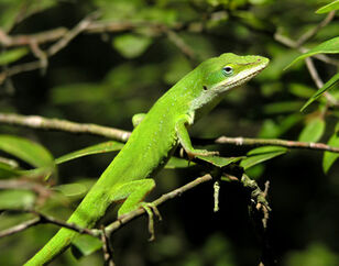 Green-anole-01