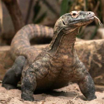 File:20090521093305-hembras-dragon-komodo-pueden-reproducirse-mismas.jpg