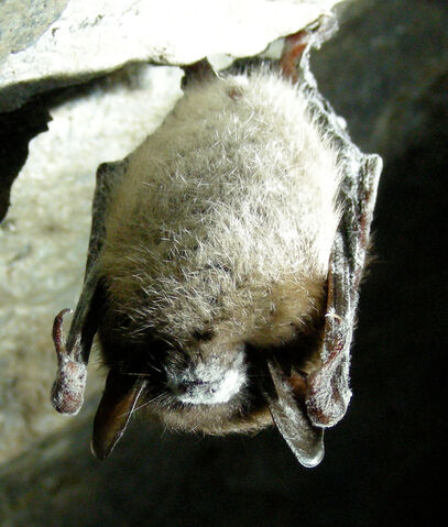 File:Little Brown Bat with White Nose Syndrome (Greeley Mine, cropped).jpg