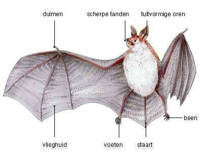File:Vleermuis getekend.jpg