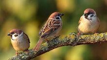 Sparrow-0