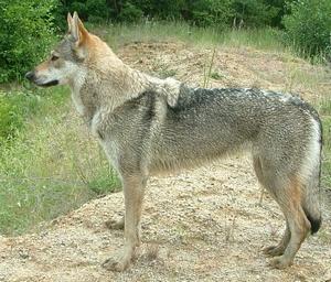 Plik:Alistair wolf z Peronowki.jpg