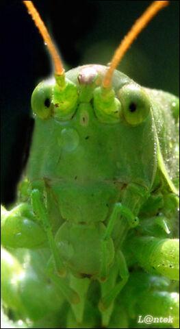 Plik:Zielony Krayt.jpg