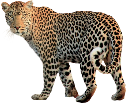 Leopard-Transparent