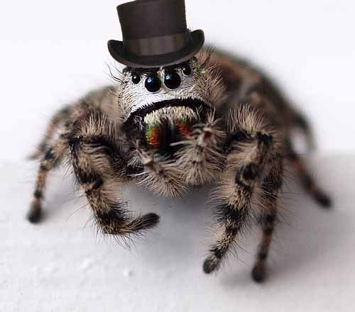 File:Unibrow spider with top hat n monocle.jpg