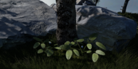 Sengeng (Plant)