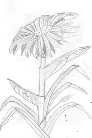 File:Jude Hakim sun flower.jpg