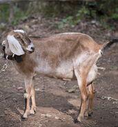Tabitha the Goat