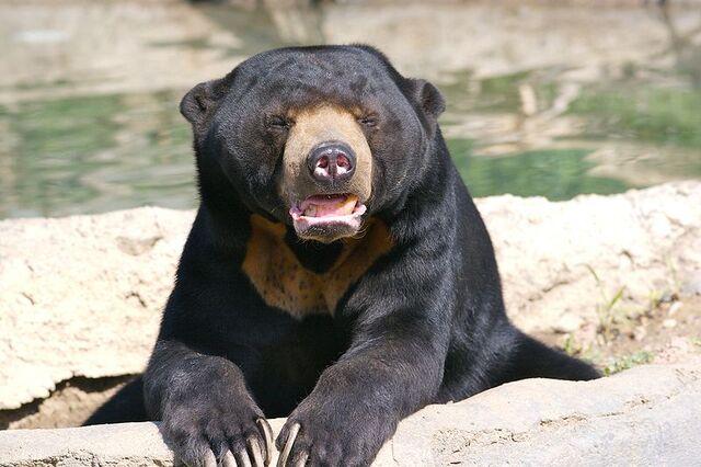 File:800px-Sun Bear 3.jpg
