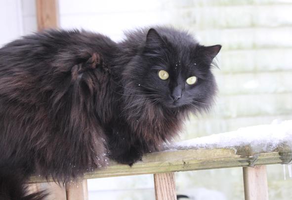 Bennington-Magpie-black-long-haired