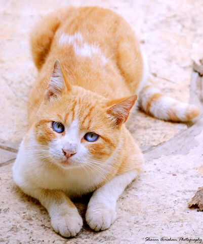File:Blue eyed cat by Stavraham.jpg