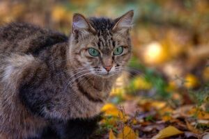 10955945-mackerel-tabby-cat-with-green-eye-in-autumn-leaves