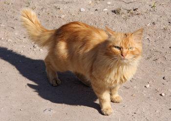 Red Cat in Torzhok City (1)