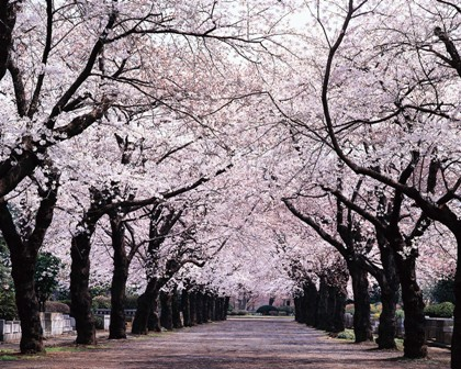 Sakura (cherry blossom tree)