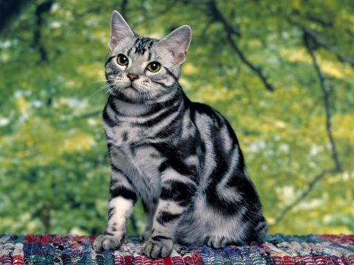 File:Silver-Tabby-Cat-512X384-51.jpg
