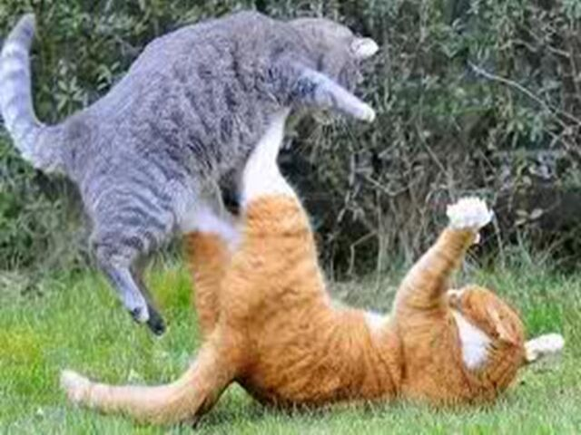 File:Warrior cat fight.jpg