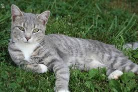 File:Gray tabby green eyes mousewhisker dark forest.jpg