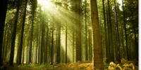 MarshClan's Forest
