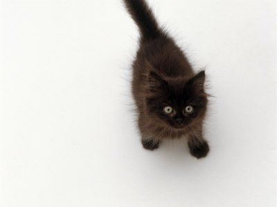 File:Jane-burton-domestic-cat-black-fluffy-kitten-looking-up-viewed-from-above.jpg