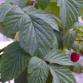 Raspberry Leaves.png