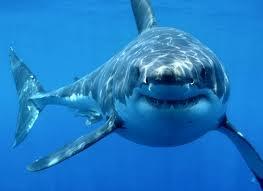 File:Great White Shark.jpg