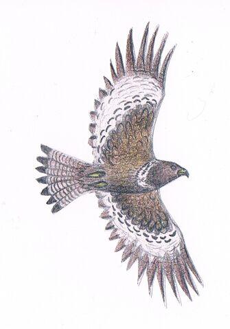 File:Poiana disegno.jpg