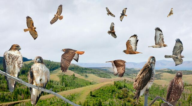 File:Red-tailed Hawk - west From The Crossley ID Guide Raptors.jpg