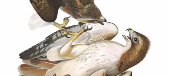 Redtails by audubon