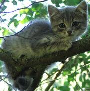Wild-grey-kitten