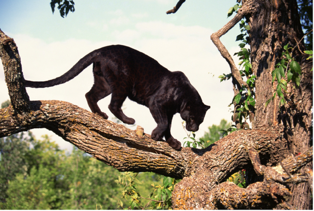 File:Panther 2.png