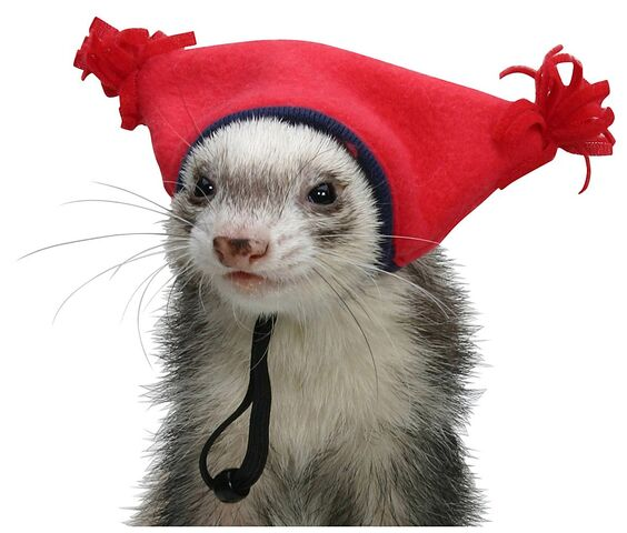 File:Ferret in a hat.jpg