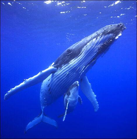 File:Humpback-whale.jpg