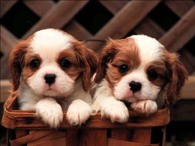 File:Cute-puppies-puppies-and-more-31104113-1024-768.jpg