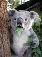Koala-bear-is-astonished-224x300