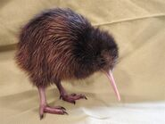 Twiggy a one month old north island brown kiwi h 2110039190