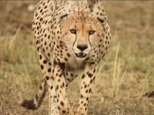 File:Kimbia the cheetah..jpg