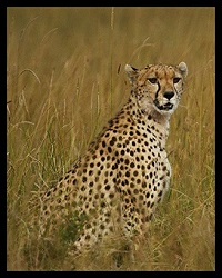 File:Amber the cheetah .jpg