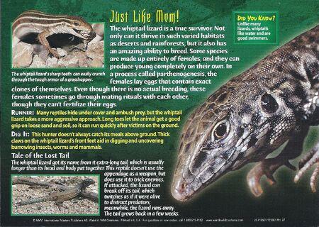 Whiptail Lizard back