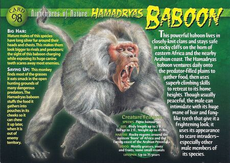 Hamadryas Baboon front