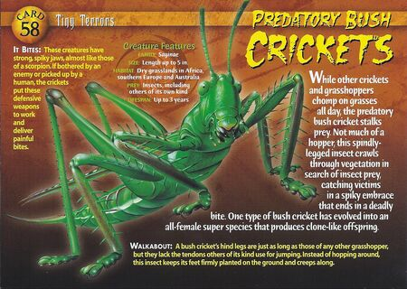 Predatory Bush Cricket front