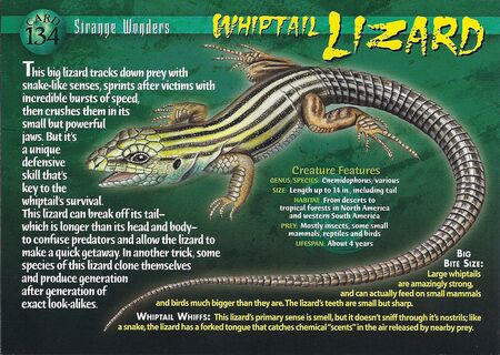 Whiptail Lizard front