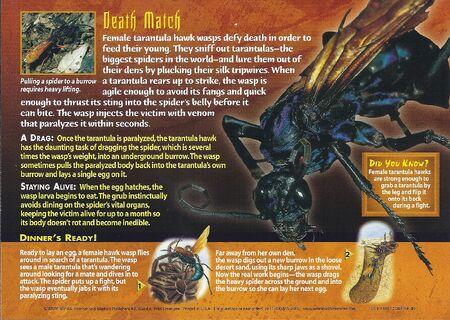 Trantula Hawk Wasp back