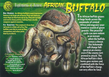 African Buffalo front