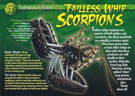 Tailless Whip Scorpion front