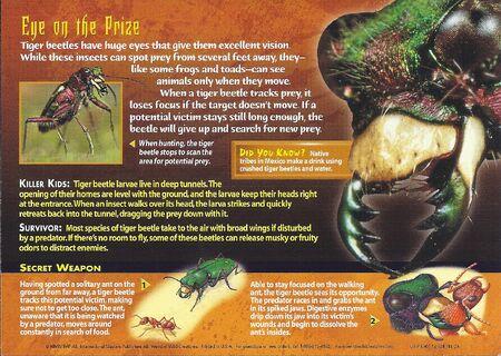 Tiger Beetles back