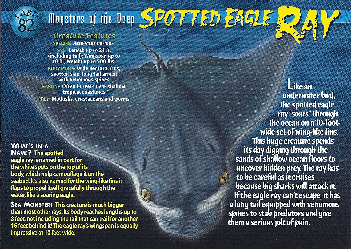 Spotted eagle ray coloring pages - File Spotted Eagle Ray Front Jpg