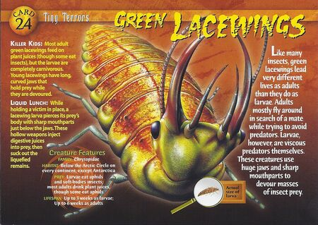 Green Lacewings front