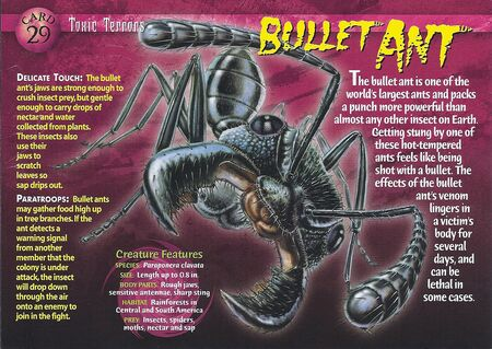 Bullet Ant front